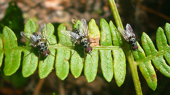 Tres moscas (Anthomyia sp.)