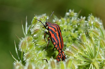 Graphosoma lineatum (2)